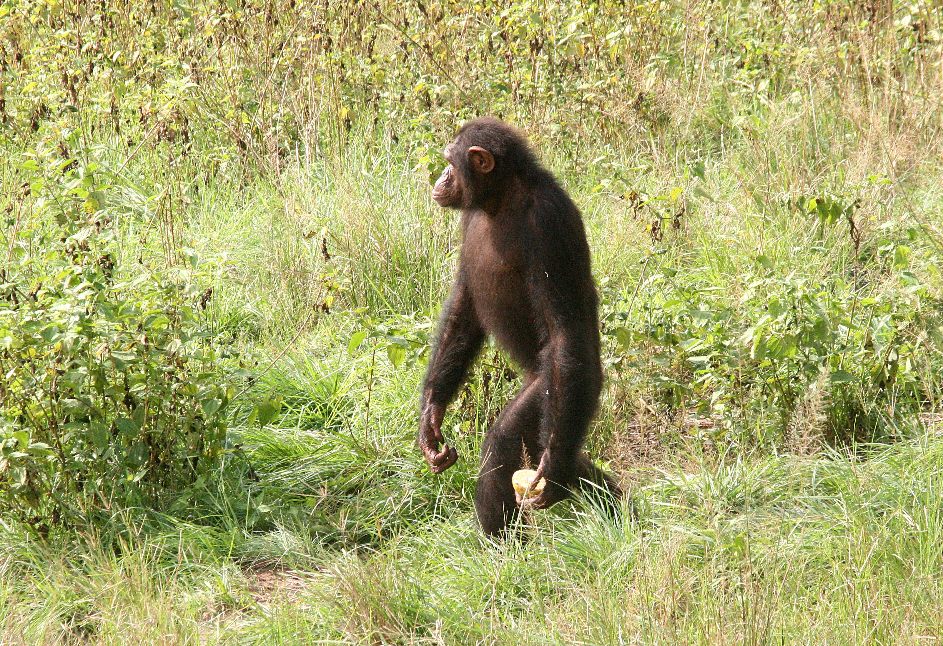 Evolution of Chimpanzee and Human Sleeping Patterns : JGI: Get ... Chimpanzee Jane